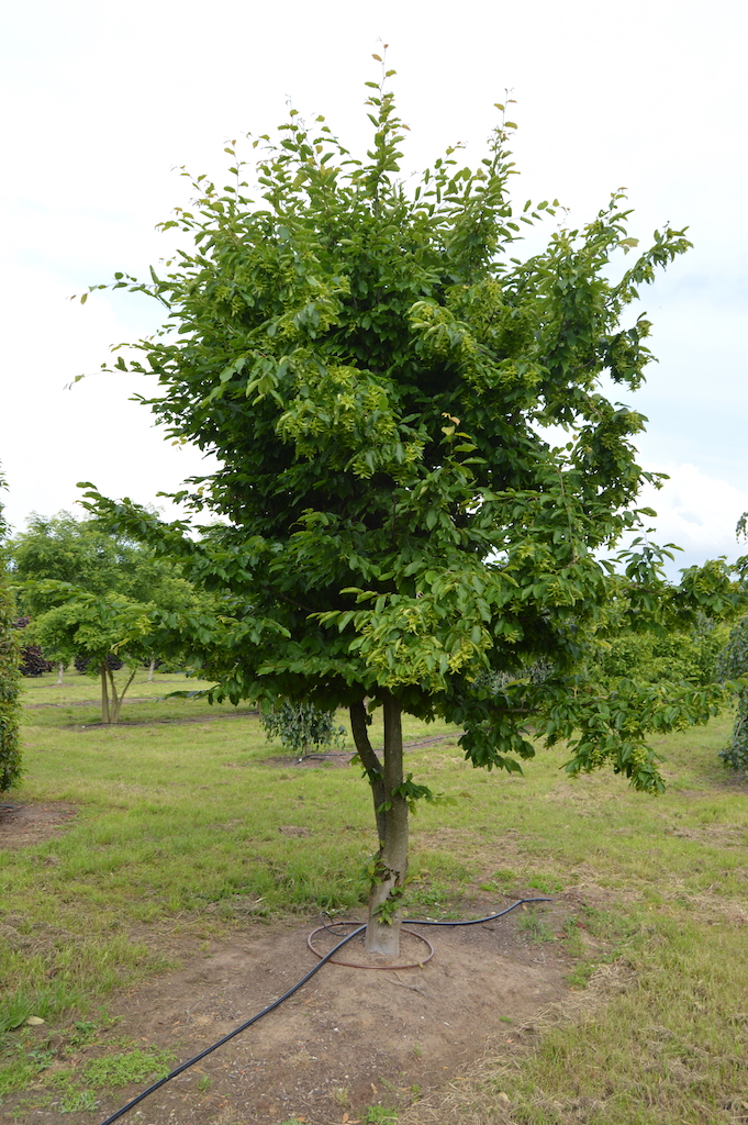 Carpinus betulus (Hornbeam) multi-stem