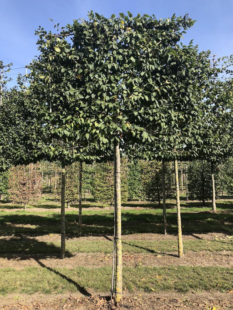 Carpinus betulus (Hornbeam) pleached tree 20-25 grade