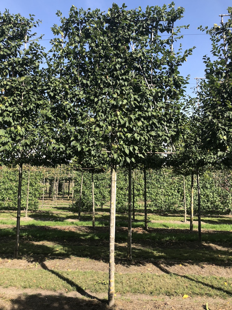 Carpinus betulus (Hornbeam) pleached tree, with extra high screen