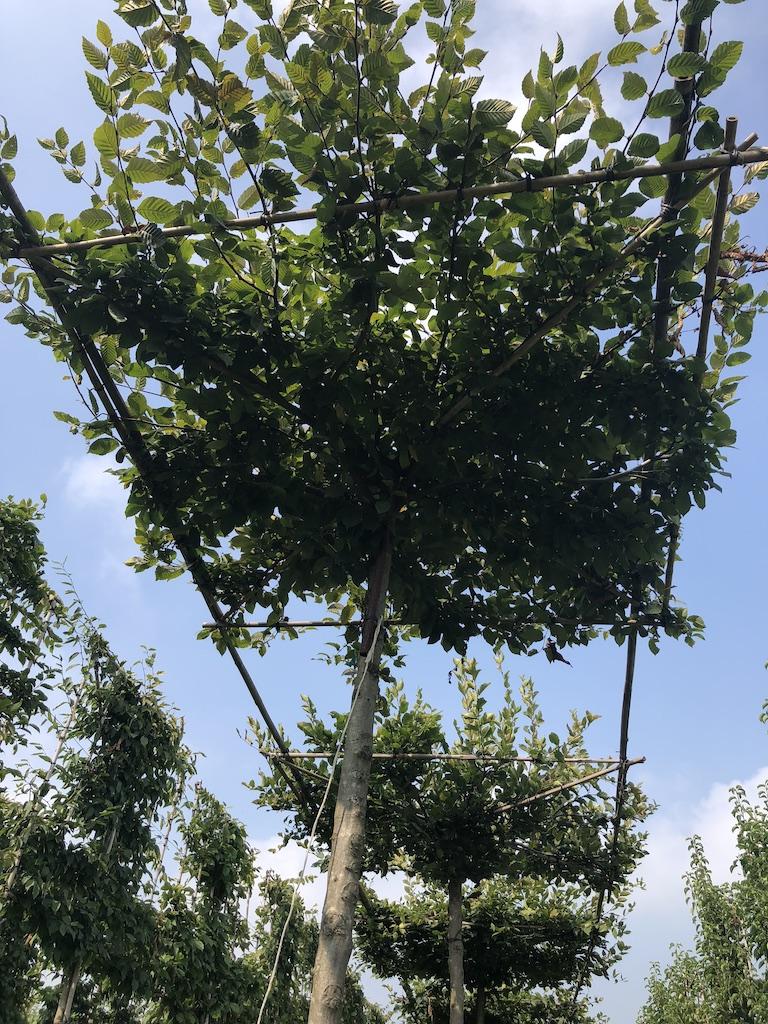 Carpinus betulus (Hornbeam) roof form trees