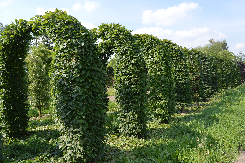 Carpinus betulus (Hornbeam) topiary archways