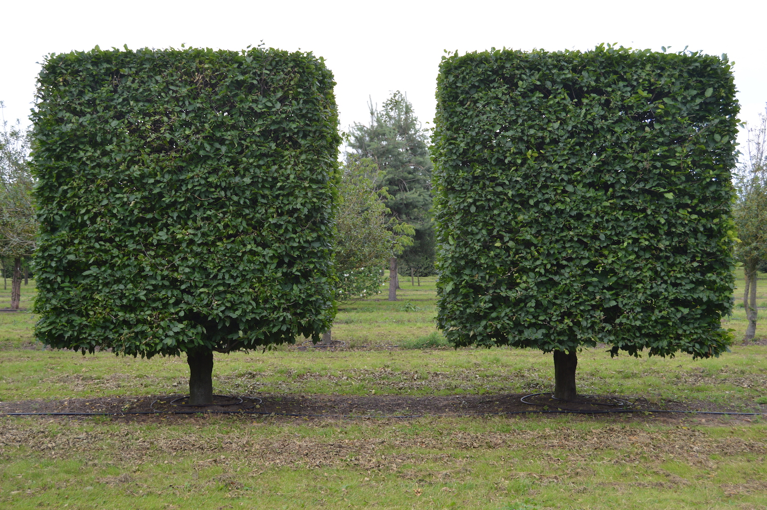 Carpinus betulus (Hornbeam) topiary blocks with low clear stems
