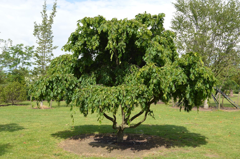 Carpinus betulus 'Pendula' (1)