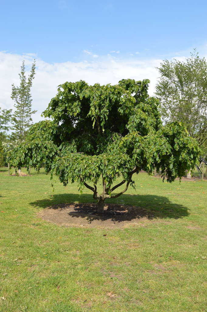 Carpinus betulus 'Pendula' (2)