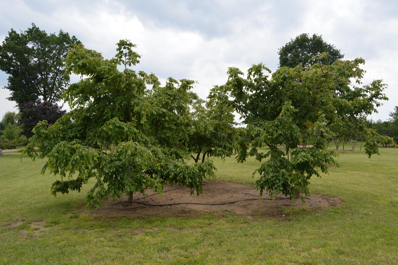 Carpinus betulus 'Pendula' specimen trees (1)
