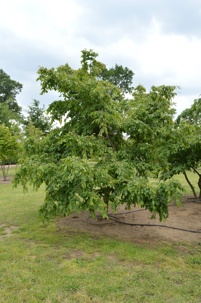 Carpinus betulus 'Pendula' specimen trees (3)