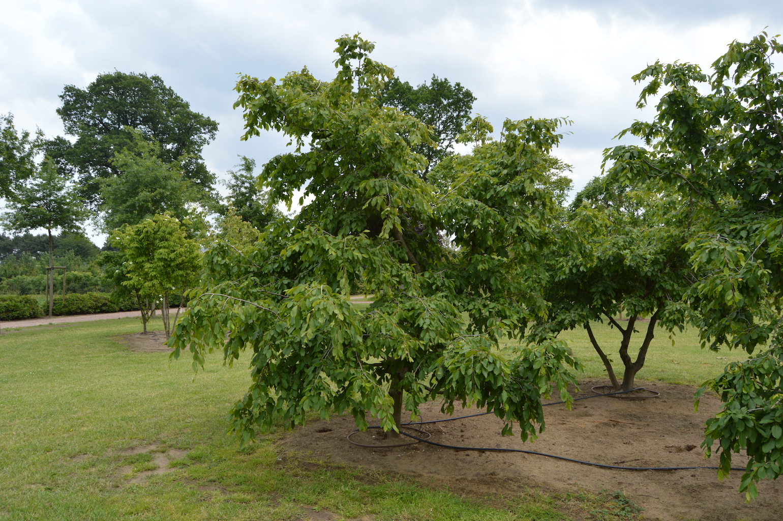 Carpinus betulus 'Pendula' specimen trees (4)