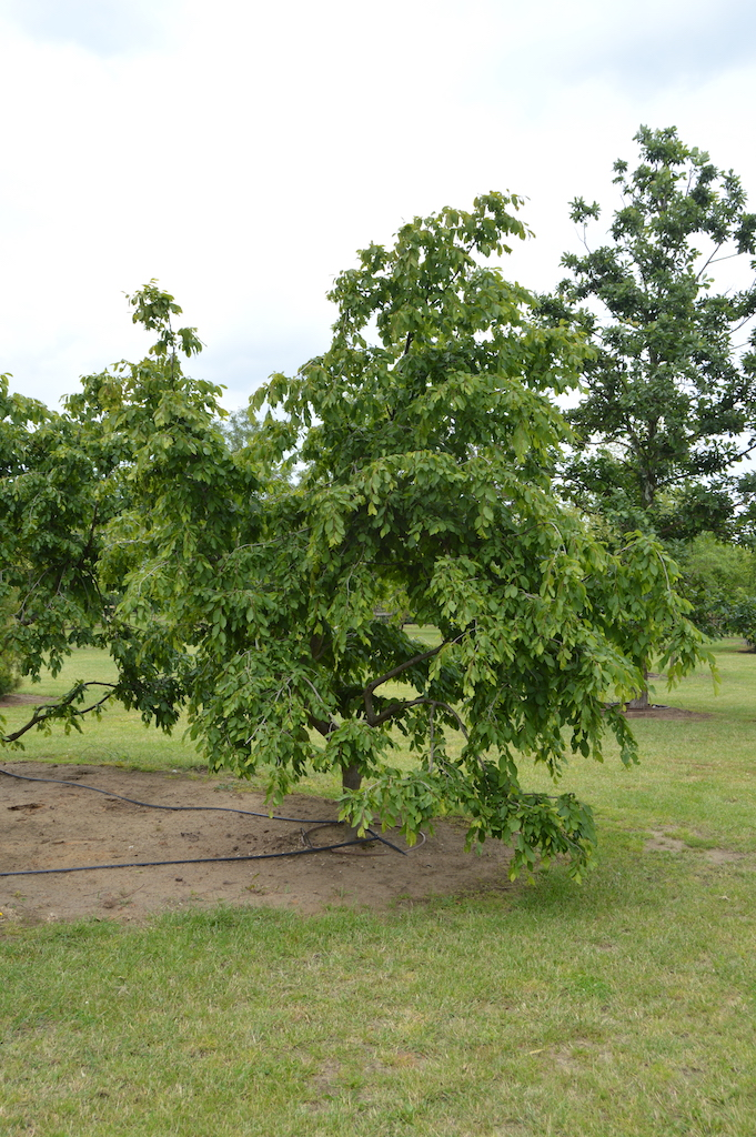 Carpinus betulus 'Pendula' specimen trees (5)