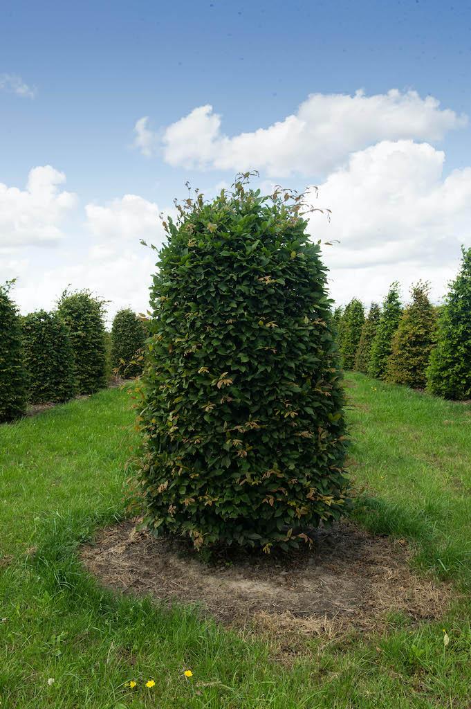 Carpinus betulus beehive topiary