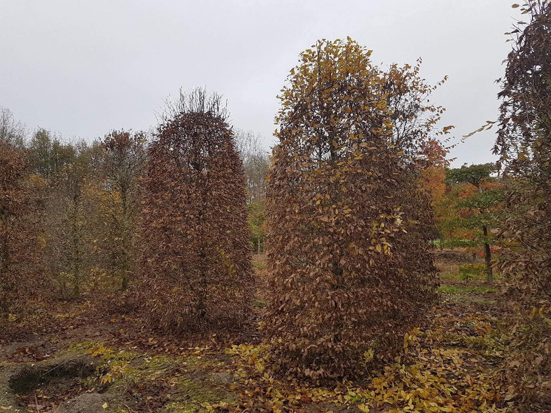 Carpinus betulus beehives in winter