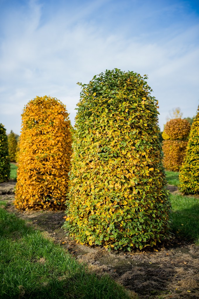 Carpinus betulus beehives