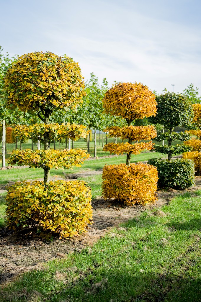 Carpinus betulus bespoke tiered topiary specimens