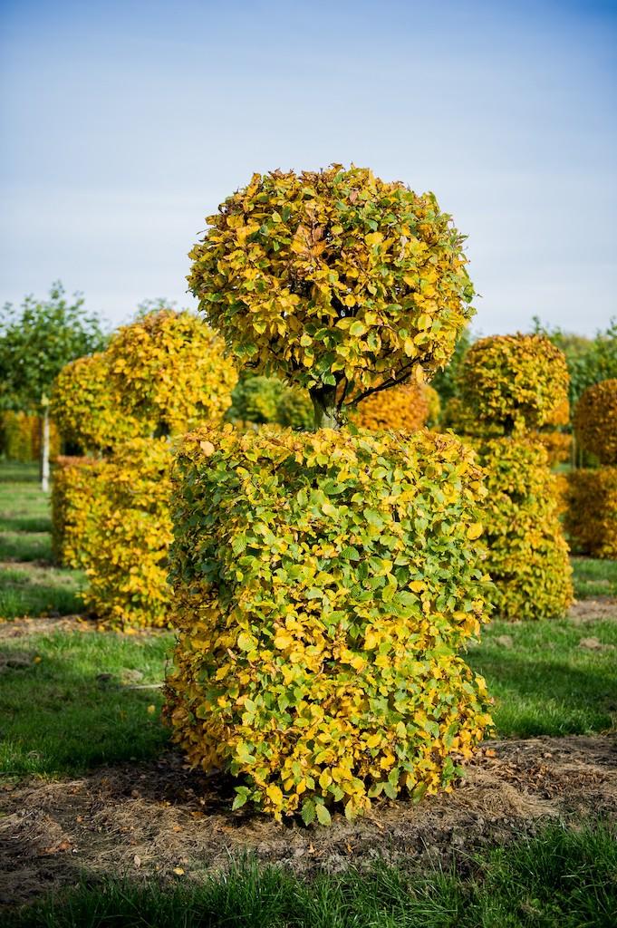 Carpinus betulus bespoke topiary specimen with ball over block