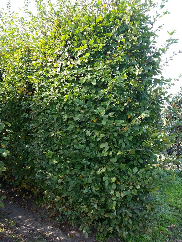 Carpinus betulus instant hedge element 300cm x 120cm x 60cm