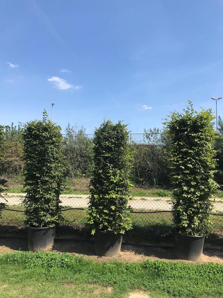 Carpinus betulus instant hedge plants C110