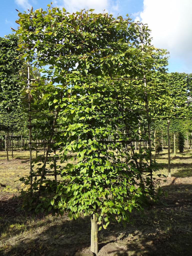 Carpinus betulus low pleached 16-18 grade