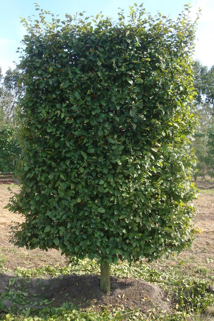 Carpinus betulus low pleached 25-30 grade