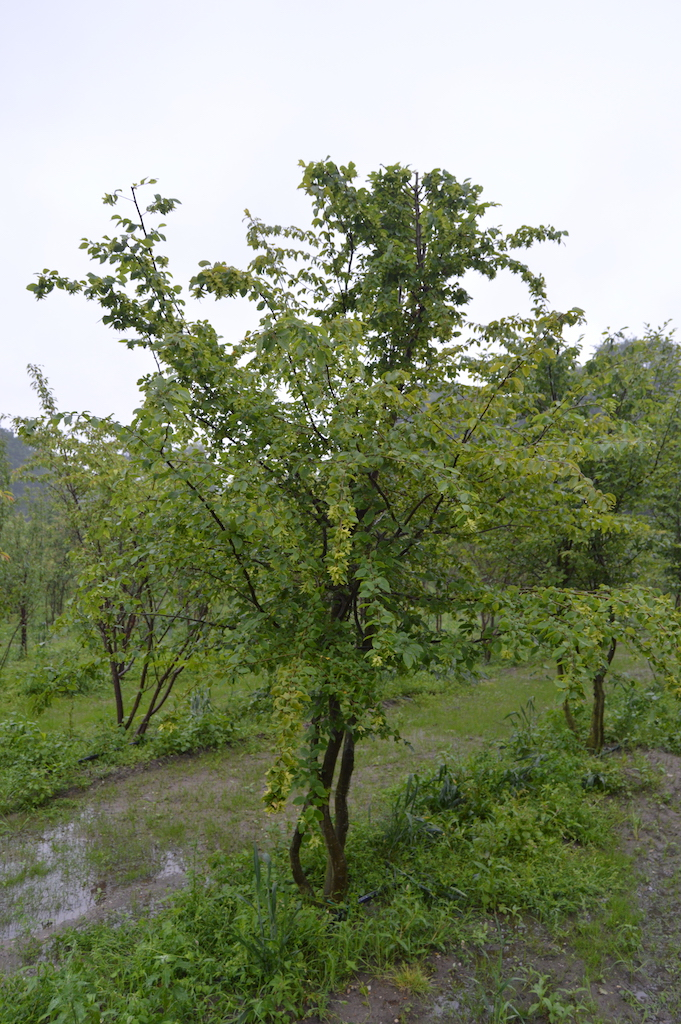 Carpinus betulus multi-stem tree