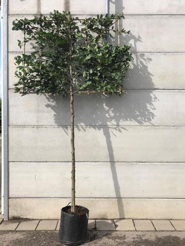 Carpinus betulus pleached 12-14, 180cm clear stem, frame size 150cm wide x 120cm high.jpeg