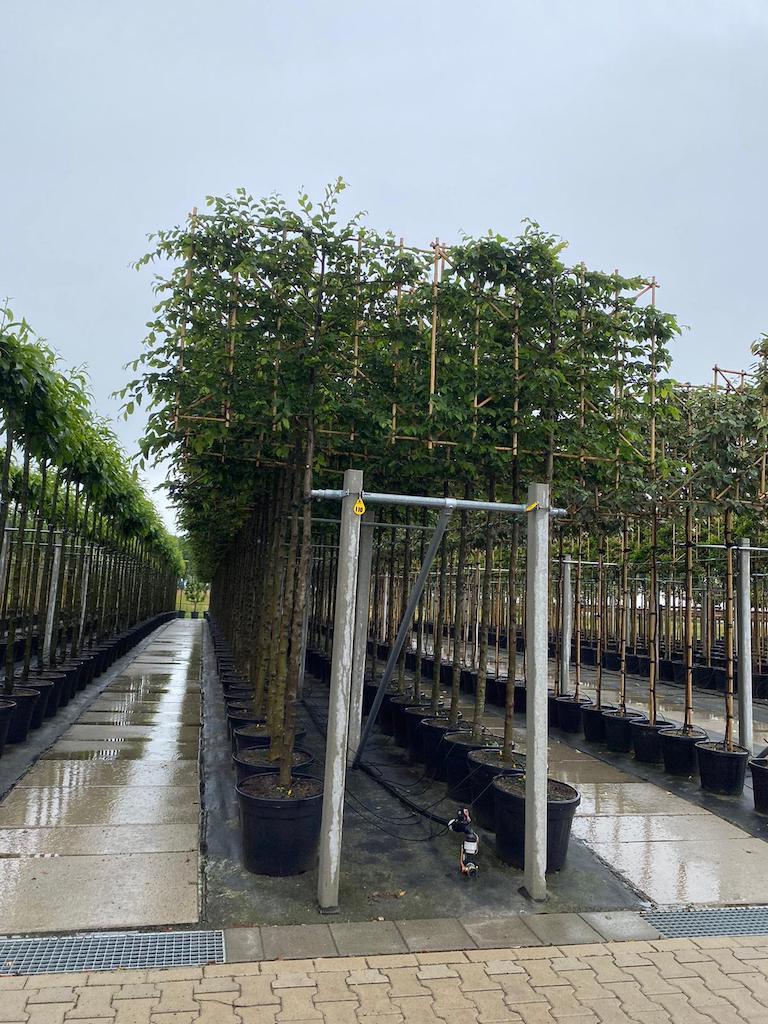 Carpinus betulus pleached 14-16, 180cm clear stem, frame size 150cm wide x 120cm high