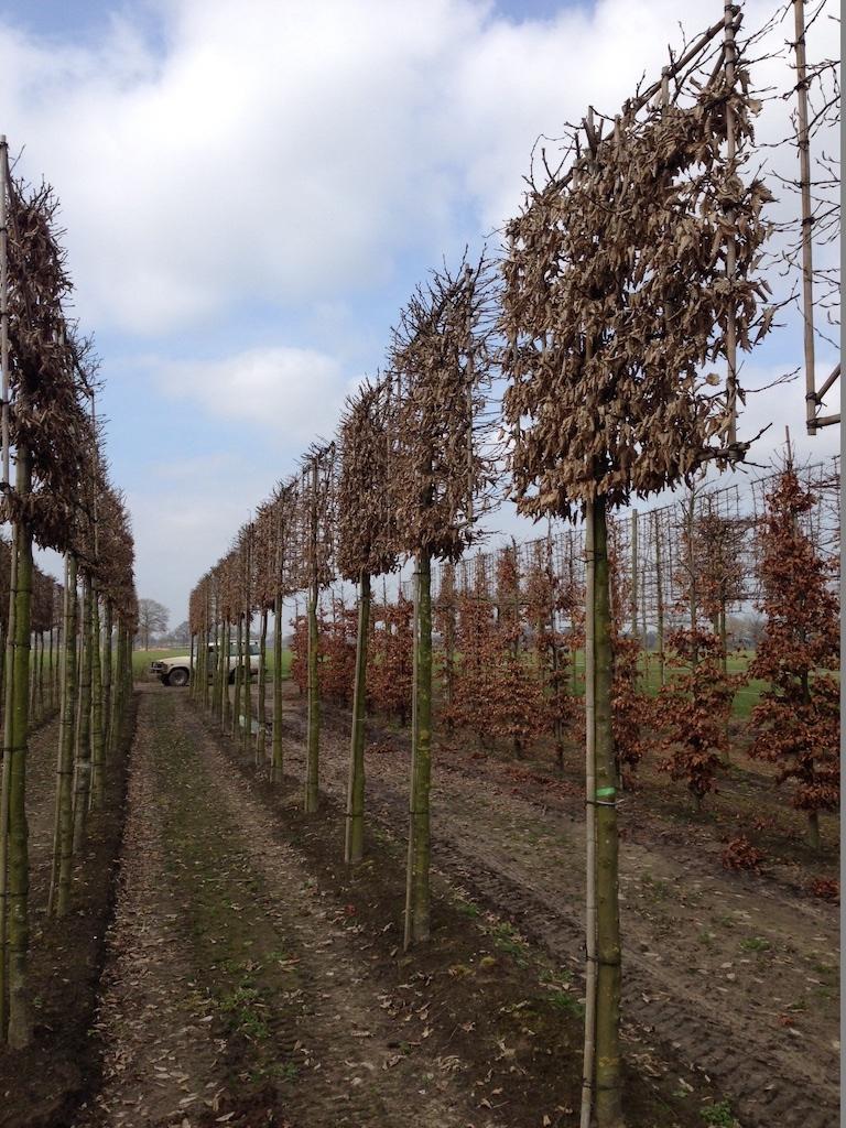 Carpinus betulus pleached 20-25, 220cm clear ste, screen 200cm (w) x 150cm (h) (1)