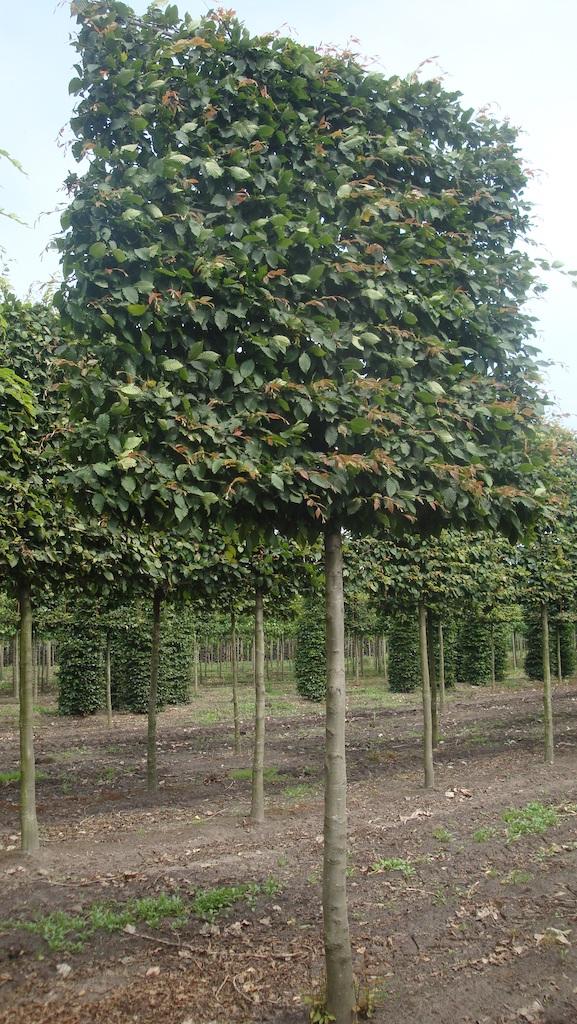 Carpinus betulus pleached Hornbeam with extra large screen 25-30 grade