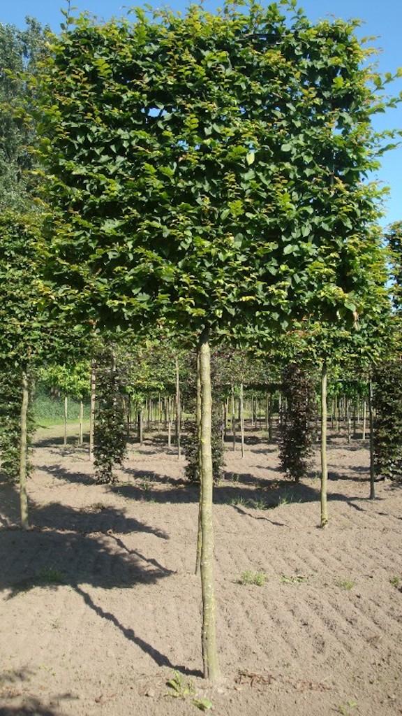 Carpinus betulus plecahed screens 20-25 grade