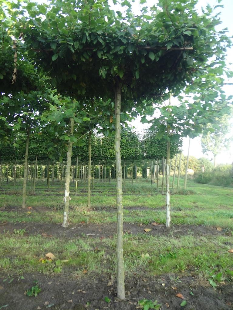 Carpinus betulus roof-form Hornbeam tree 18-20 grade