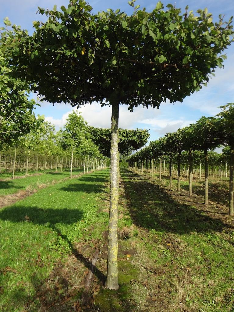 Carpinus betulus roof-form Hornbeam tree 25-30 grade