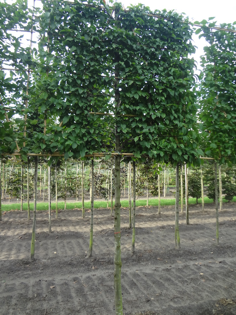 Carpinus betulus screen pleached trees 18-20 grade with 170cm clear stem