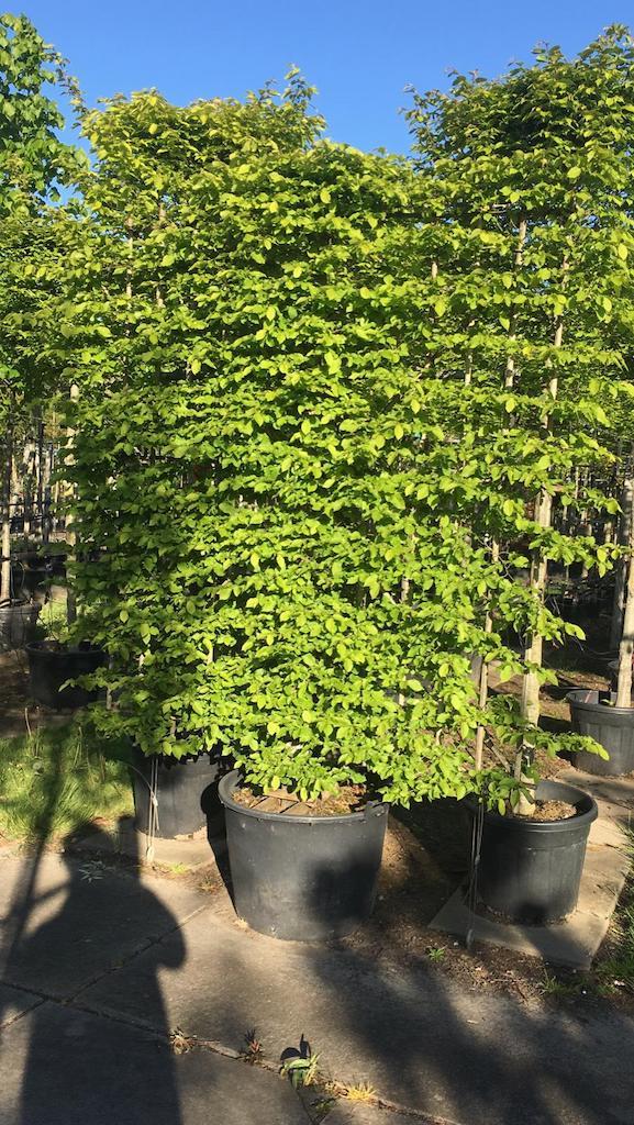 Carpinus betulus screens 180cm wide x 210cm high
