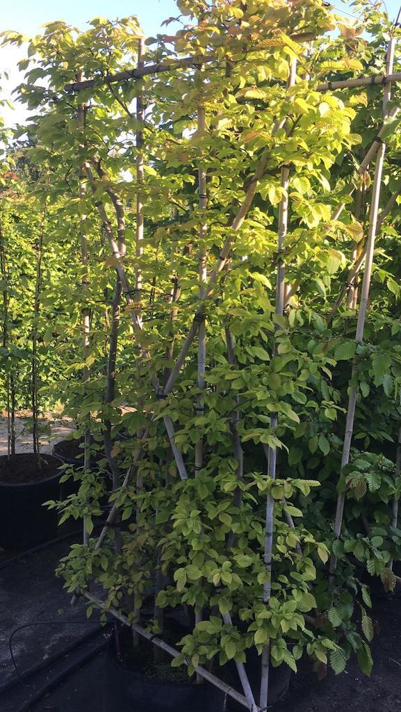 Carpinus betulus screens 90cm wide x 180cm high