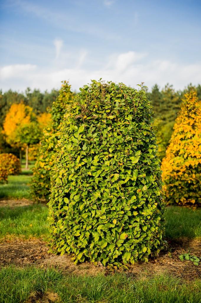 Carpinus betulus topiary Hornbeam beehive