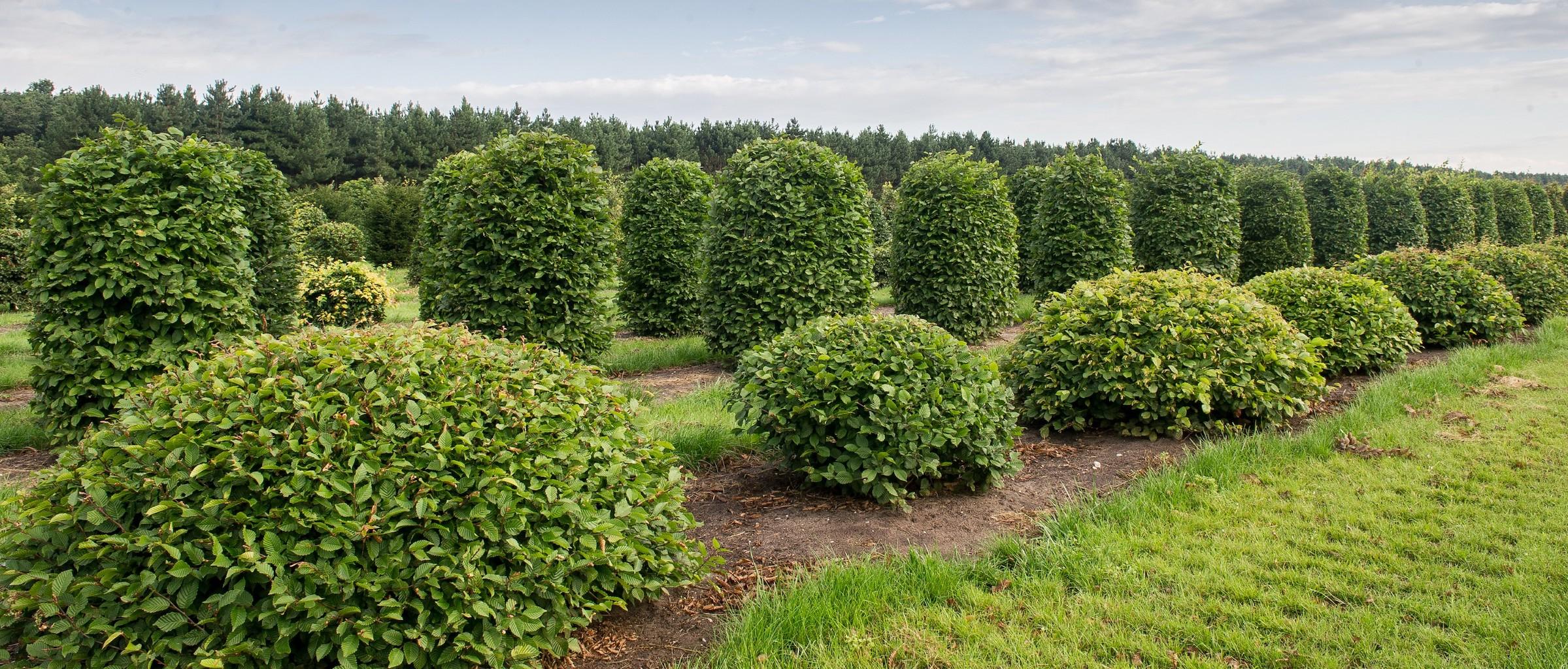 Carpinus betulus topiary Hornbeam domes