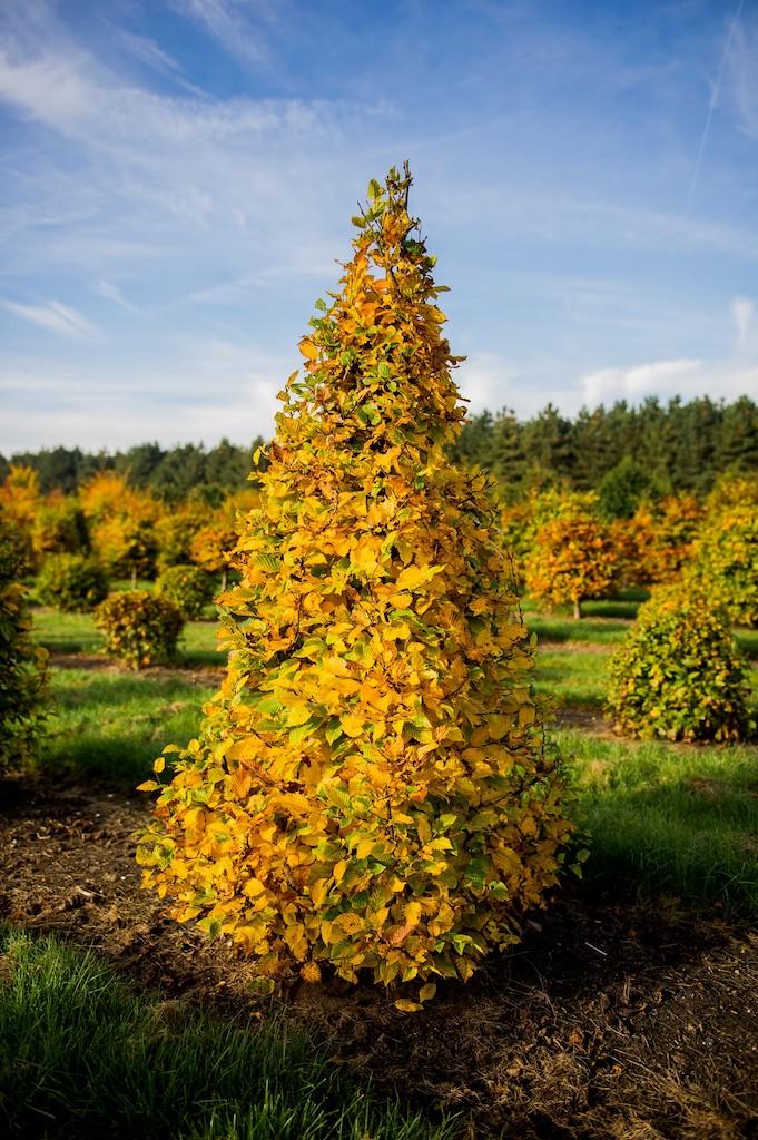 Carpinus betulus topiary Hornbeam pyramid