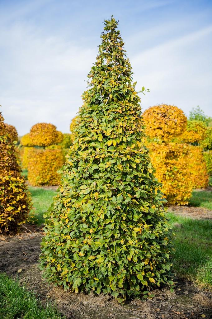 Carpinus betulus topiary cone