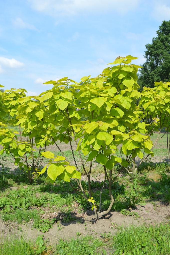 Catalpa bignoniodes 'Aurea' multi-stem tree (1)