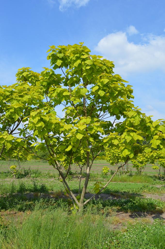 Catalpa bignoniodes 'Aurea' multi-stem tree (2)