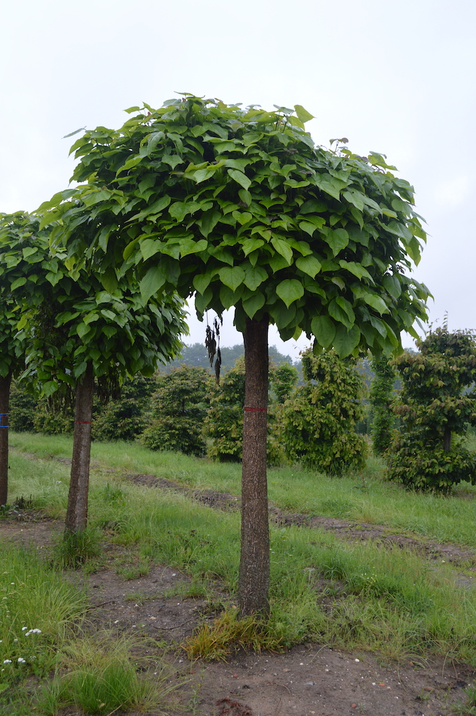 Catalpa bignoniodes pruned standards