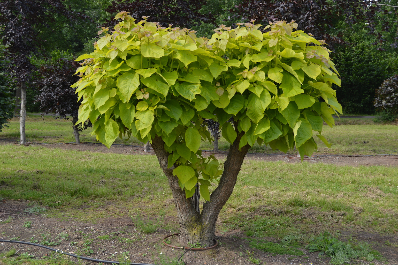 Catalpa bignonioides 'Aurea' (2)