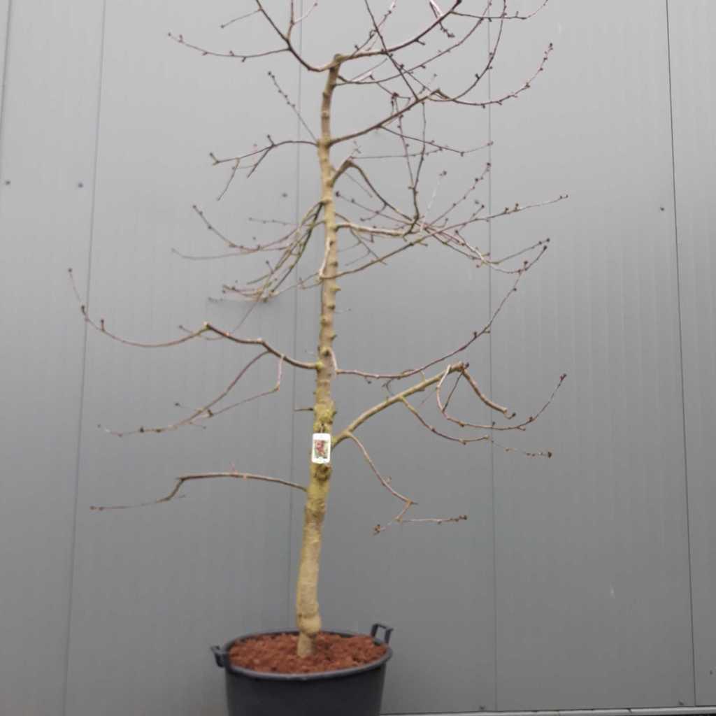 Cherry - Prunus avium 'Kordia' 25-30 C130 225-250cm