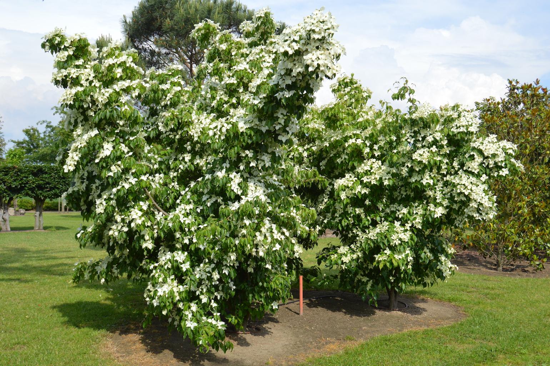 Cornus kousa 'Chinensis' specimen tree
