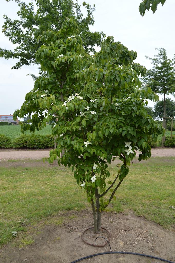 Cornus kousa var. chinensis multi-stem (1)