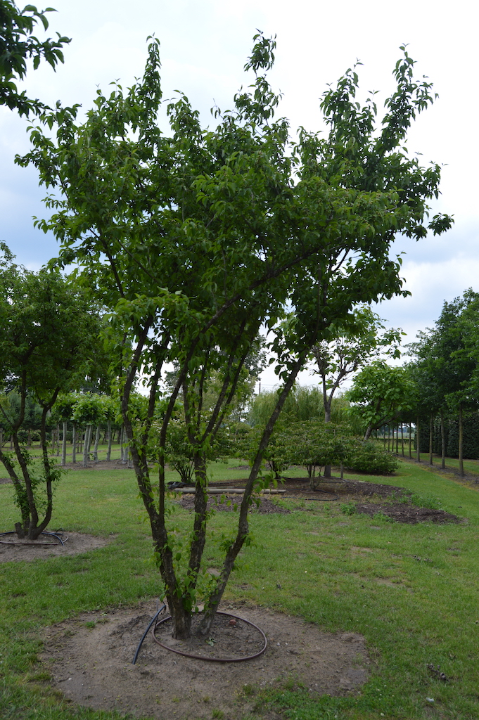 Cornus mas multi-stems (1)