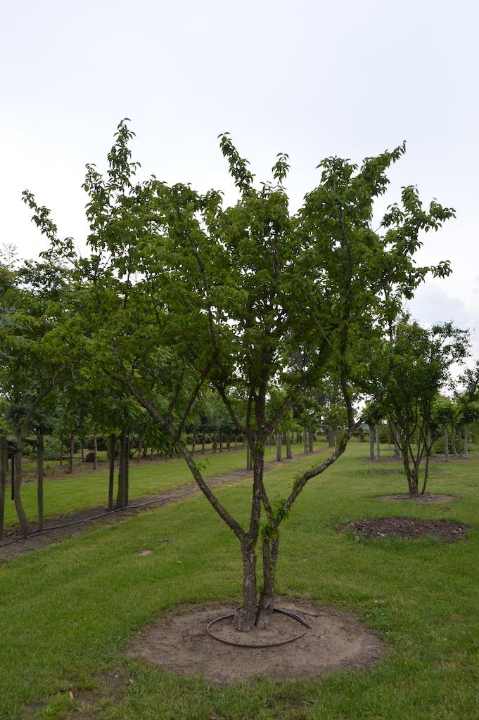 Cornus mas multi-stems (4)