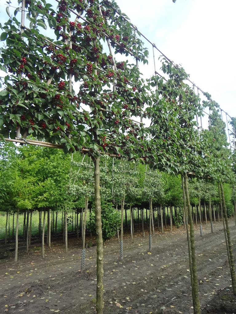 Cornus mas pleached trees 16-18 grade