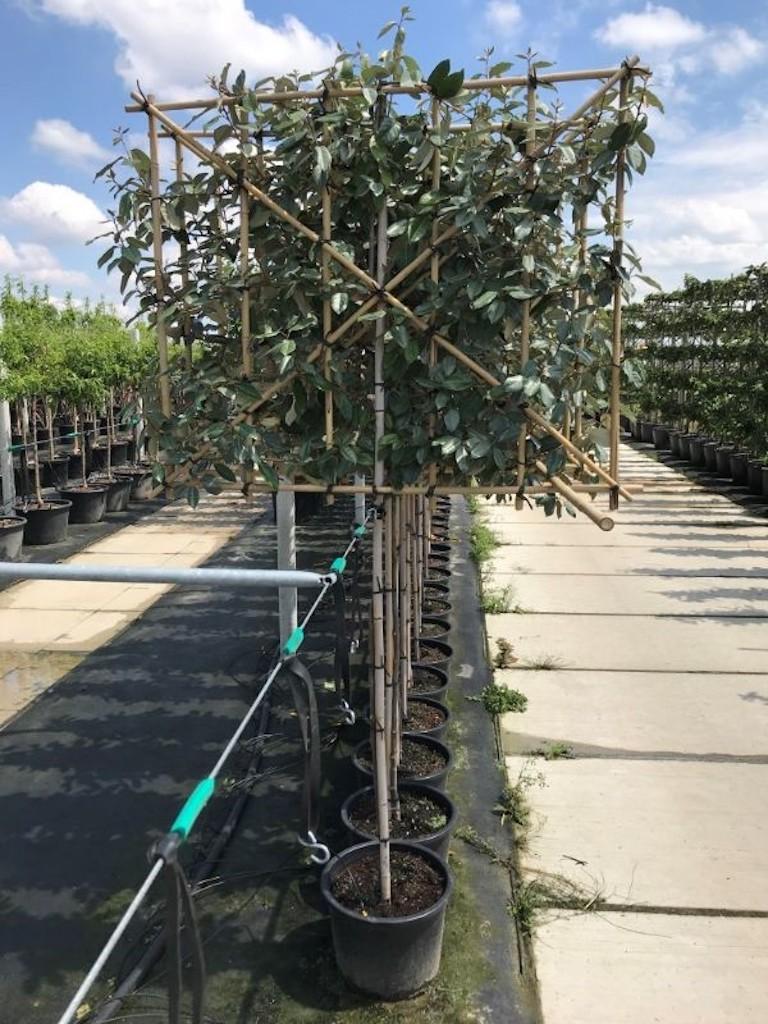 Elaeagnus ebbingei low plecahed 6-8 grade, 110cm clear stem