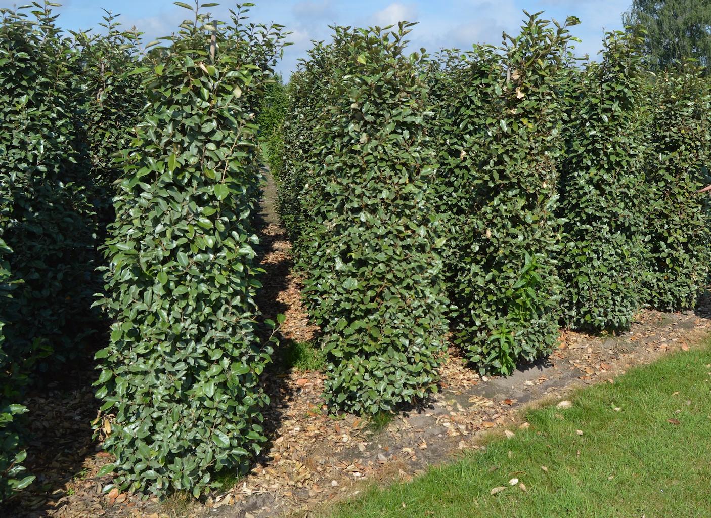 Eleagnus ebbingei hedge plants 175-200cm