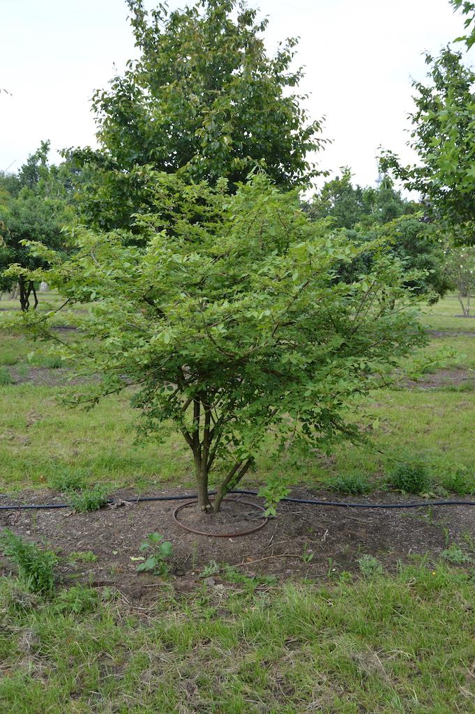 Euonymus alatus (2)