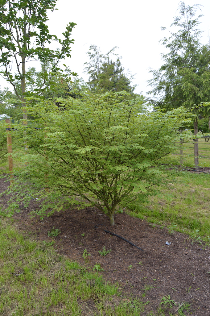 Euonymus alatus multi-stem shrub (1)